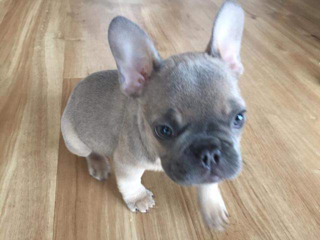 beautiful kc registered french bulldog puppy 10 weeks old - ready now -  blue fawn | in plymouth, devon | gumtree