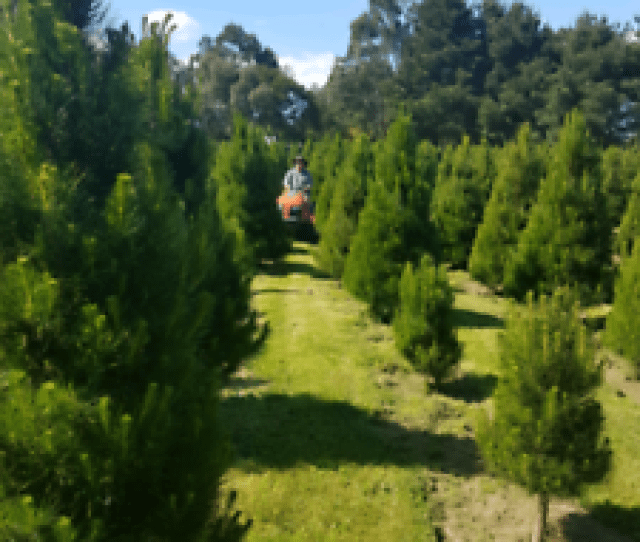 Burmieston Christmas Tree Farmreal Christmas Trees For Sale Pick Them Fresh From The Farm  Per Footranges From   Feetfree