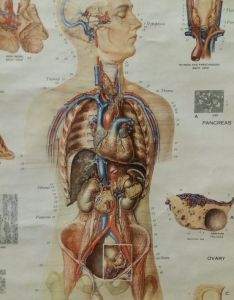 Vintage american frohse anatomical chart no medical wall poster human anatomy also rh gumtree