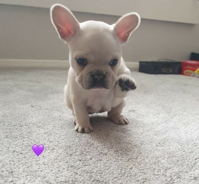 platinum french bulldog puppies | in bicester, oxfordshire | gumtree