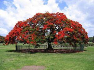 Royal Poinciana Flame Tree (delonix regia) - live seedling - NOT SEEDS Bonsai | eBay