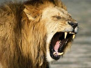 angry lion glossy poster
