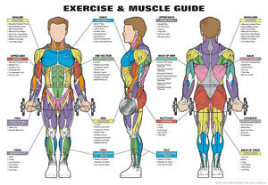 """MEN'S EXERCISE AND MUSCLE GUIDE 24"""" x 36"""" Laminated Poster ..."""