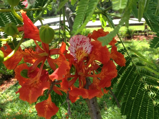 20 - Royal Poinciana. Flamboyant. or Flame Tree - Delonix regia Seed for sale online