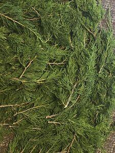 How To Make A Cedar Smudge Stick : cedar, smudge, stick, Fresh, Cedar, Boughs, Thick, Clusters, Smudge, Making, Spiritual, Cleansing