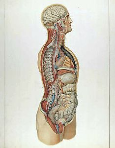 Image is loading vintage medical anatomy chart human organs illustration  also canvas rh ebay