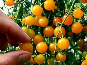 TINY TOMATO Yellow Gold Currant Small Little Vegetable ...