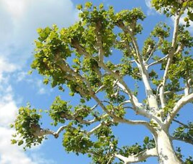 Image Is Loading American Sycamore Tree 100 Seeds From Indiana From
