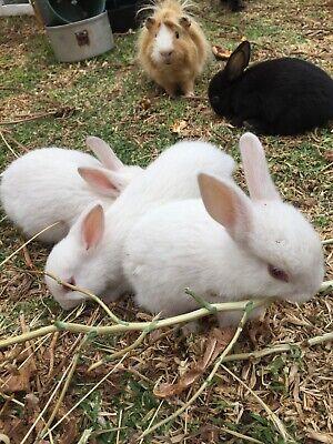 2 Baby Rabbits For Sale : rabbits, Rabbits, Salisbury, Area,, Gumtree, Australia, Local, Classifieds