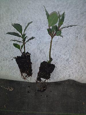 Laurus Nobilis Bay Leaf Tree Bay Laurel One Live Plant Ebay