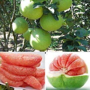 Pic Of Grapefruit Tree