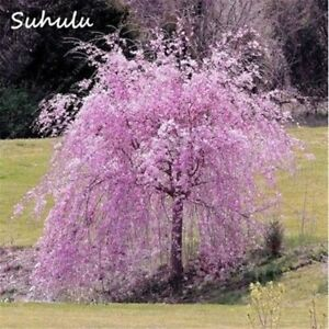 details about bonsai japanese