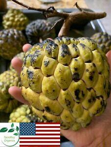 USA Sugar Apple Seeds | Custard Apple | Sweetsop | Mang ...