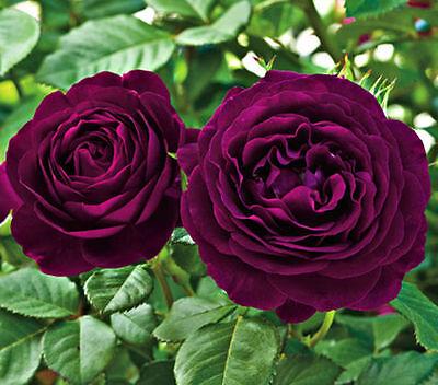 20 purple rare rose