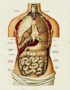 Image is loading vintage medical anatomy human organ illustration chart real also canvas rh ebay