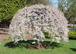 dwarf white weeping cherry tree