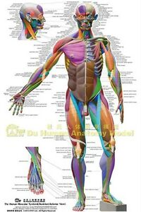 details about muscular system anatomical chart colored ecorche poster anatomy atlas massage