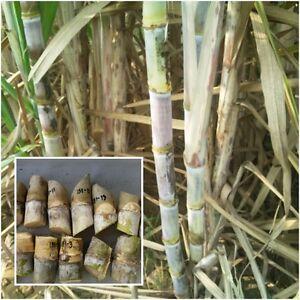 Saccharum 3 Bud Cuttings Asian Sugarcane Sweet Edible ...