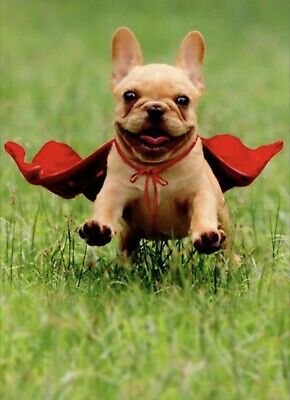 Thank You Dog Funny : thank, funny, Frenchie, Jumping, Wearing, Avanti, Thank, Press, 12615729467