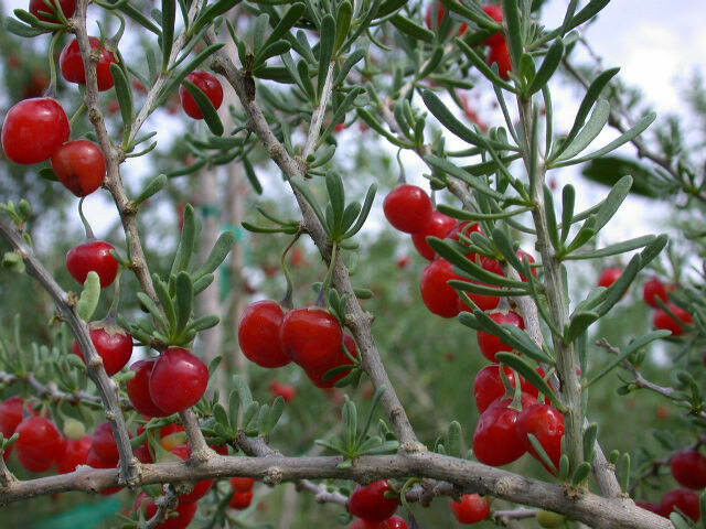 Lycium Carolinianum Florida Native Tree Christmas Berry
