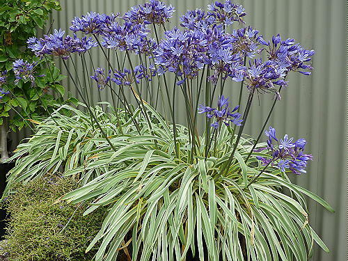 agapanthus gold strike variegated