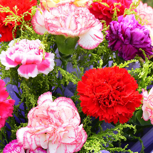 cut flower colorful carnation