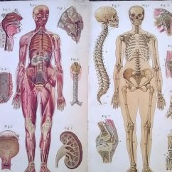Mouse Skeletal Diagram Obd0 To Obd1 Jumper Harness Wiring Old Medical Anatomy Book Color Plates Baillieres Atlas Female Body Ca-1917   Ebay