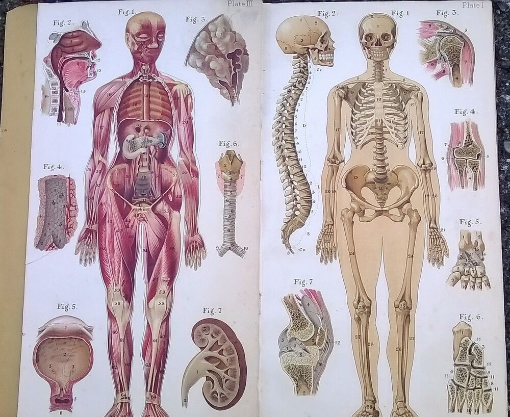 mouse skeletal diagram obd0 to obd1 jumper harness wiring old medical anatomy book color plates baillieres atlas female body ca-1917 | ebay