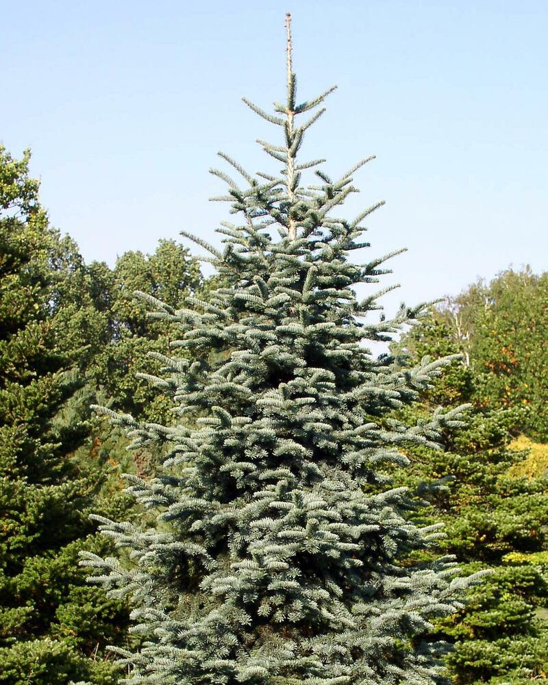 Noble Fir Abies Procera Tree Seeds Christmas Tree Seeds