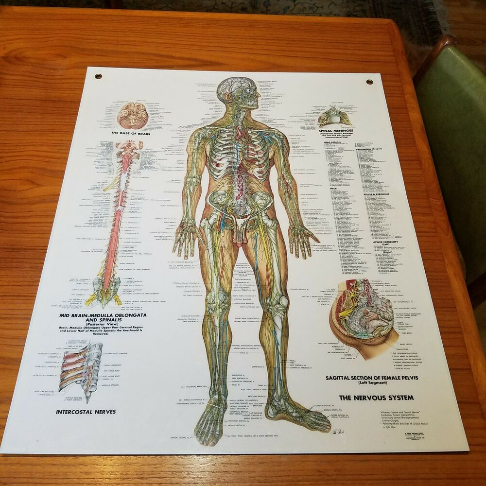 hight resolution of details about vintage plastic medical chart 1949 peter bachin nervous system anatomical 20x24