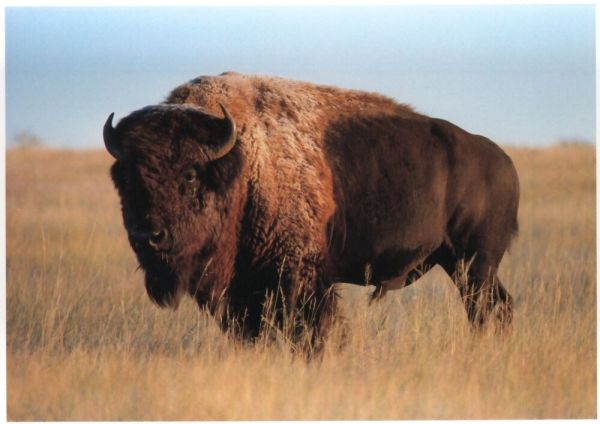 Postcard American Bison Buffalo by Impact Beautiful