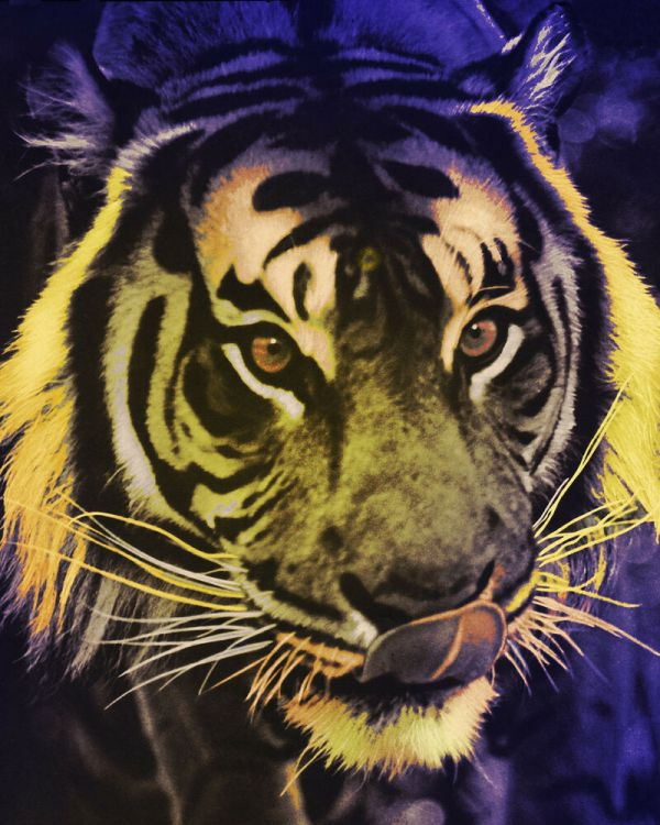 Tiger Poster Psychedelictiger 16x20 In Wild Animals