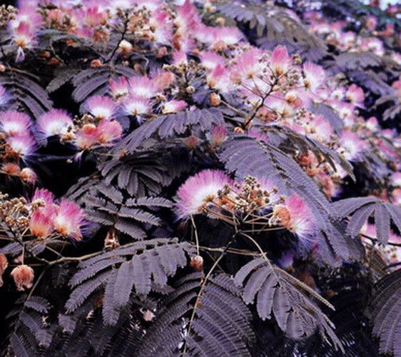 Albizia PURPLE MIMOSA Summer Chocolate TREE 6 Seeds eBay
