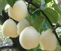 Asian Pear Chinese White Sand Pear, Pyrus Pyrifolia Live ...