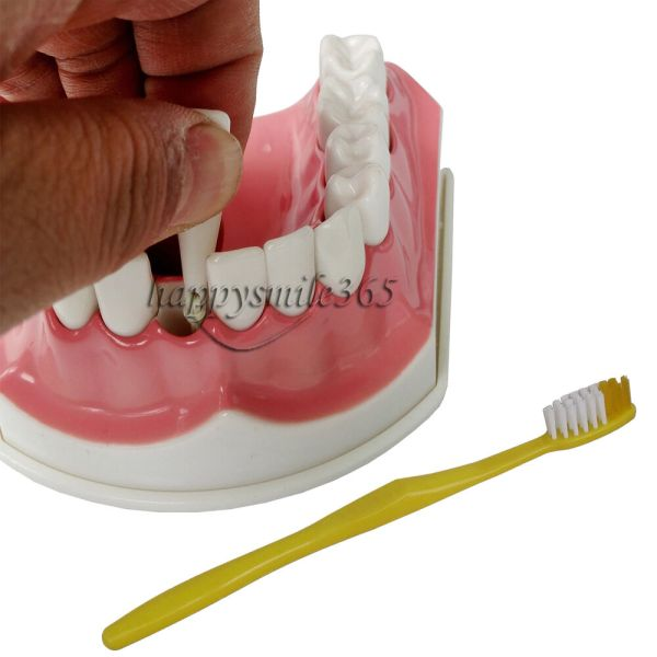 Dental Adult Education Teaching Model With Removable Lower