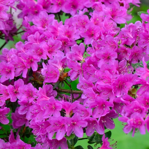 1 x purple azalea japanese evergreen