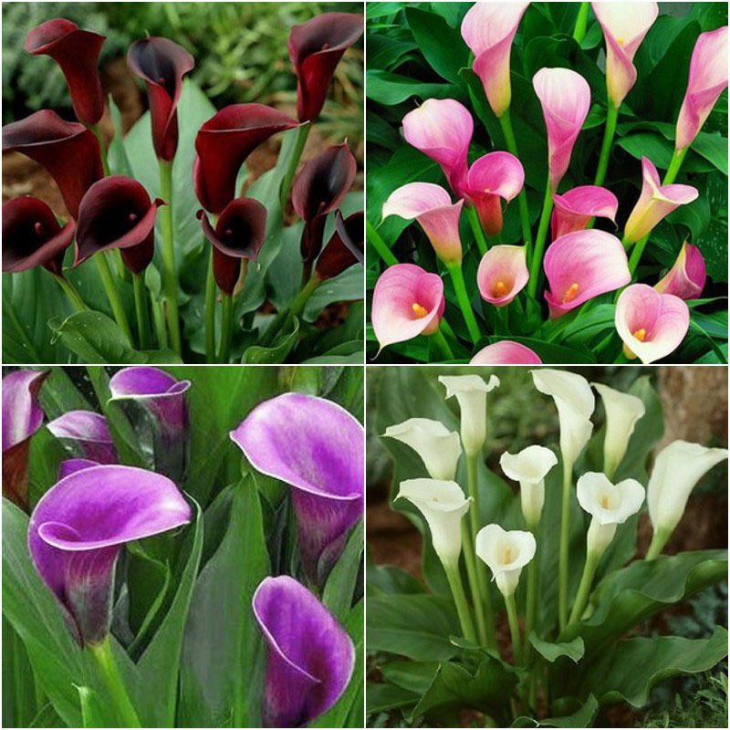 2pcs Rare Colorful Calla Lily Bulbs Flower Roots It is not seed Beautiful  eBay