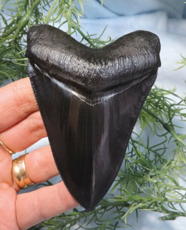 Super Serrated 4'' Megalodon Tooth Replica Beautiful