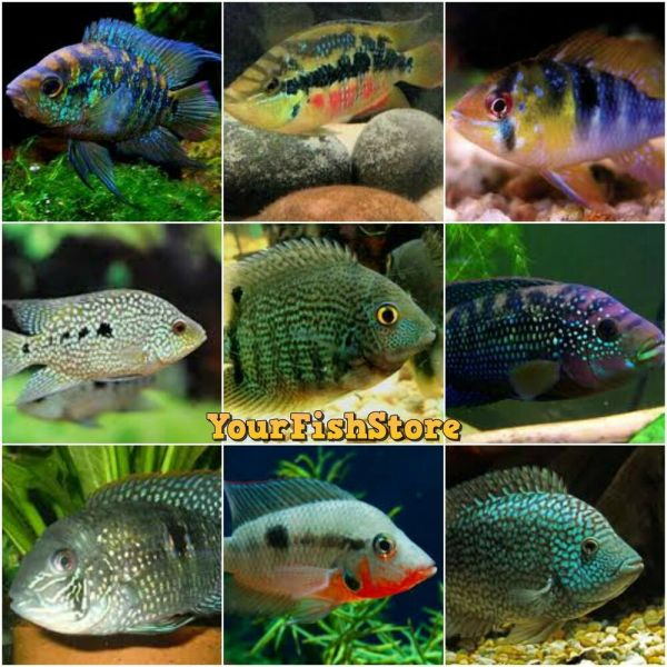 x25 ASSORTED SOUTH AMERICAN CICHLID SMMD FRESH WATER