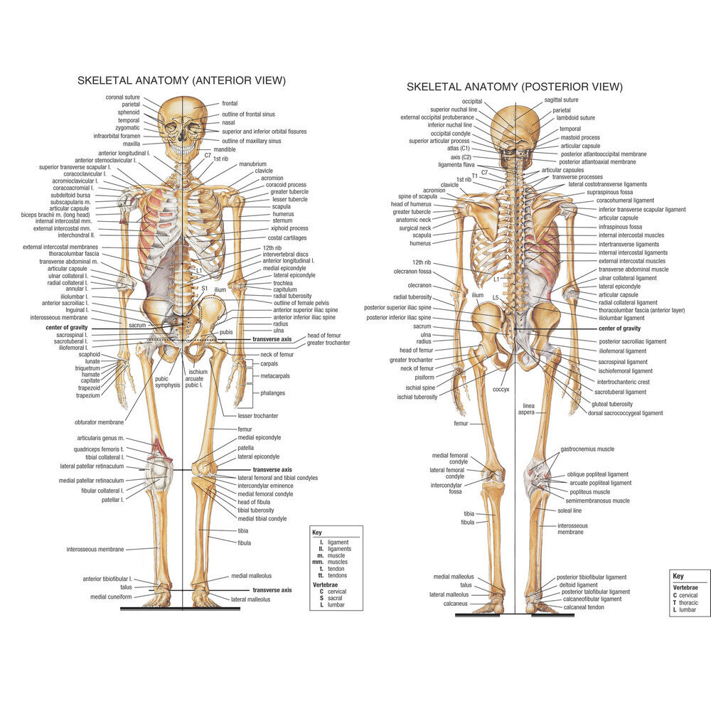 medium resolution of details about skeletal system anatomical chart silk poster 13x18 24x32inch medical science