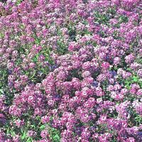 Alyssum Royal Carpet Appx 4000 seeds - Annual | eBay