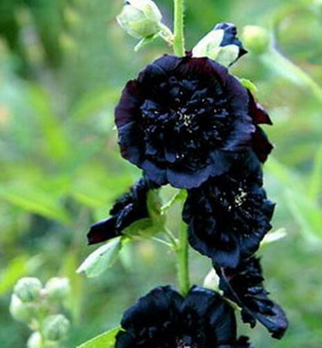 Hollyhock Double Black 15 Seeds Semi And Double Black