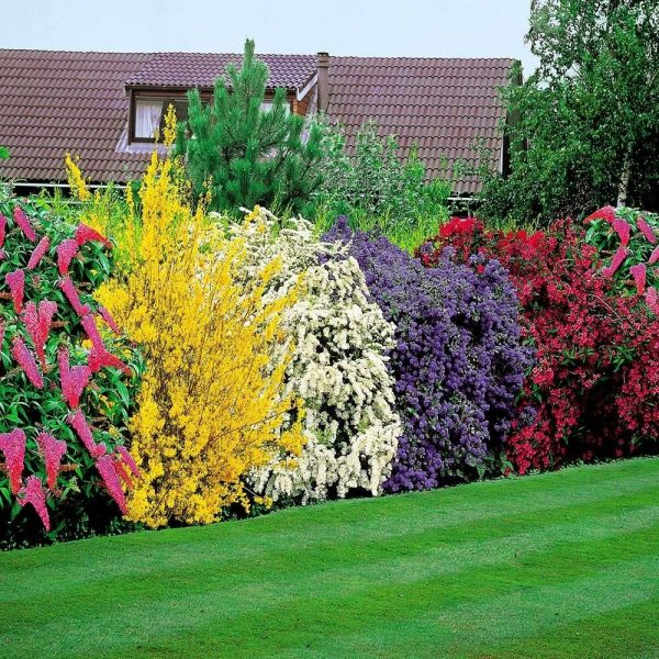 flowering shrubs hedge hardy mix