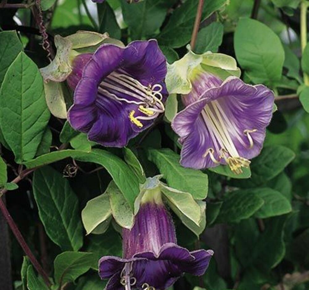 Seeds Cathedral Bells Purple (cobaea Scandens) Organic