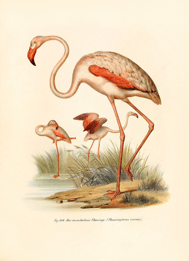 Vintage Audubon Bird Art CANVAS PRINT Flamingo Poster 16
