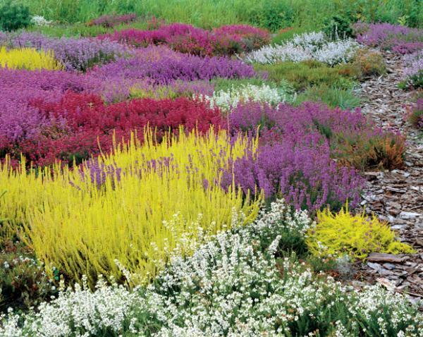 mixed colourful heather plants