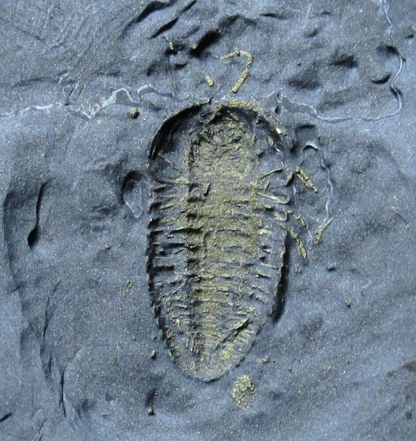 Triarthrus Trilobite Fossils Facts And Information - Year of