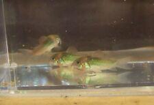 live aquarium catfish for
