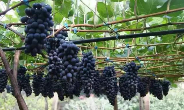 Resultado de imagem para conheça a uva BRS-Vitória