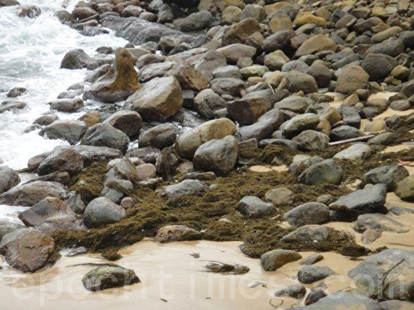 東北季風影響 大量銅藻入侵臺灣北海岸   海洋大學   大紀元